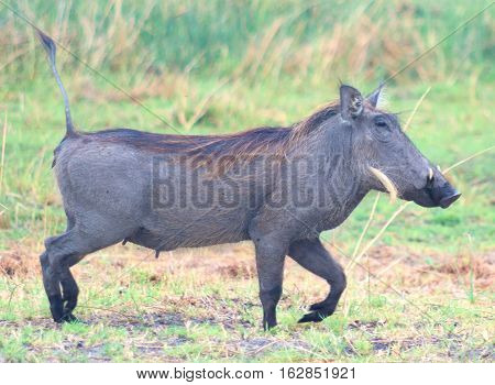 an image of female warthog in Africa