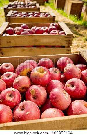 lot of Italian typical apples in a wooden box