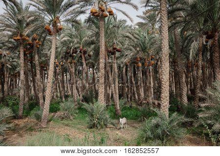 Small Donkey near palms plantation in Giza Egypt