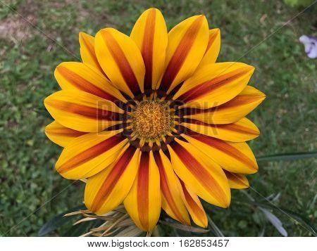 beautiful gazania flowers blooming on sunny day