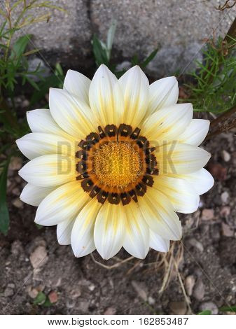gazania flowers blooming on sunny day in france