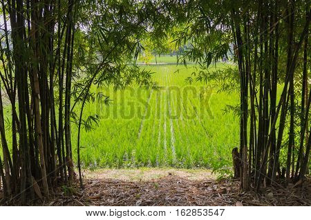 paddy rice in rice field green nature.