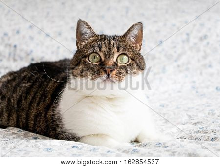 Portrait Of A Playful Tabby Cat Lying On The Bed And Staring Into The Camera. Funny Colored Cat With