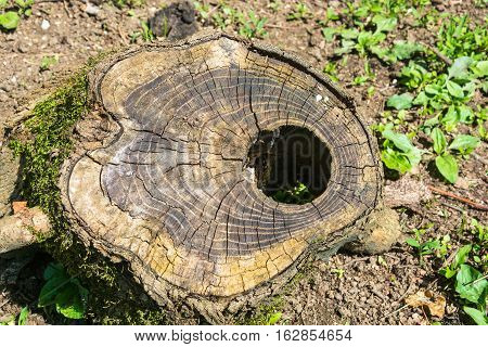 An Unusual Slice Of An Old Tree Stump.