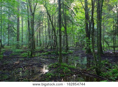 Early morning in deciduous stand of Bialowieza Forest and standing water around, Bialowieza Forest, Poland, Europe