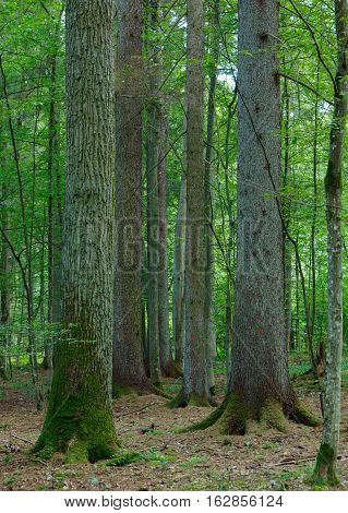 Mixed stand with oakspruce and hornbeam trees in summer, Bialowieza Forest, Poland, Europe