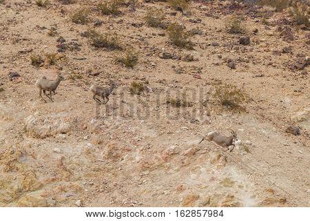 desert bighorn sheep ewes running through the desert