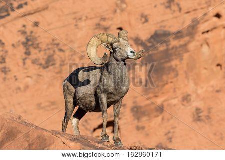 a nice desert bighorn sheep ram on a rock
