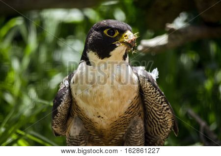 this is a close up of a peregrine falcon