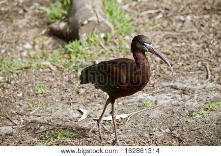 the glossy ibis is walking across a field