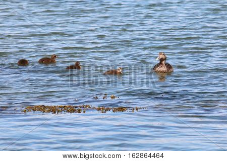 Female common eider, Somateria mollissima, with four ducklings swimming in the North sea. Photo taken at West Sands, St Andrews, Fife, Scotland.