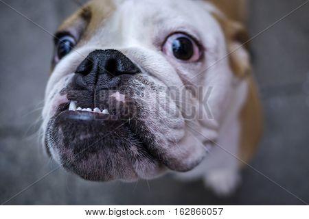 Close up of French bulldog looking up at camera
