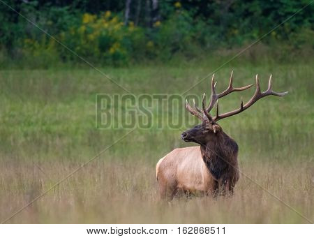 Bull Elk at Attention across field in early autumn