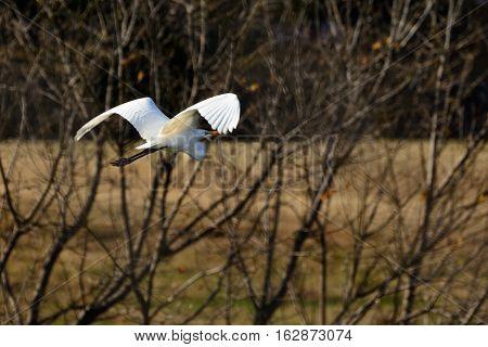Great Egret (Ardea alba) In Flight. Brush and field in background.