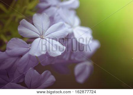 Blue Plumbago Flowers In In Garden (cape Leadwort Or Plumbago Auriculata)