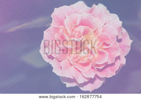 Close Up Image Of Single Pink Rose Flower