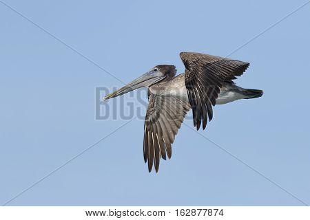Immature Brown Pelican In Flight - Florida