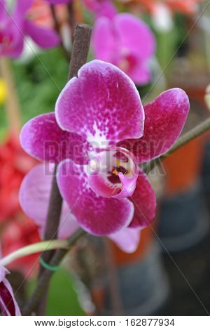 Beautiful purplish-pink moth orchid seen in Xochimilco, Mexico