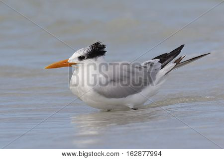 Royal Tern Wading In The Gulf Of Mexico - Florida