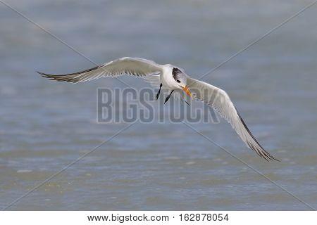 Royal Tern In Flight - St. Petersburg, Florida
