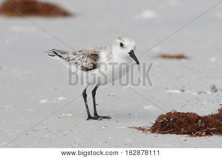 Sanderling Foraging On A Florida Beach In Fall