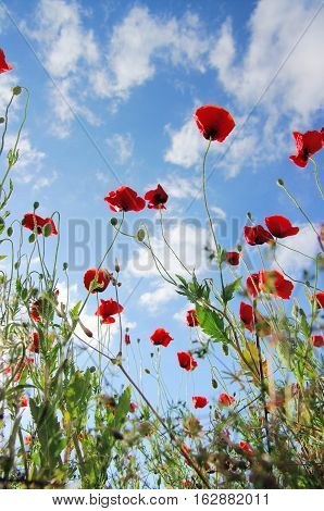 Red poppy, wildflower fields close up look up from bottom under sunny clear blue sky