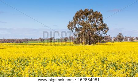 Rapeseed growing near the town of Tiverton in Western Australia.