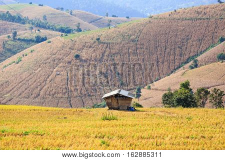 Small Hut In Rice Field