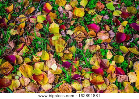 Close up Fall Foliage Leaves fall to the ground with green grass, Fall Foliage bright brilliant Colors of Fall Autumn Colorful Leaves Central Texas on the ground with green grass and colorful nature grounds