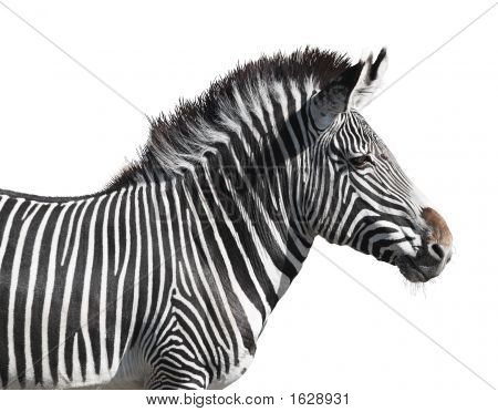Grevy'S Zebra Close-Up Isolated Over White Background