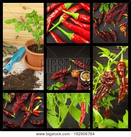 Advertising of spicy food. New Collage of hot peppers. Advertising chili sale. Different kinds of chili.