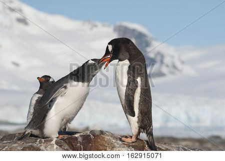 female Gentoo feed large chicks at the top of the