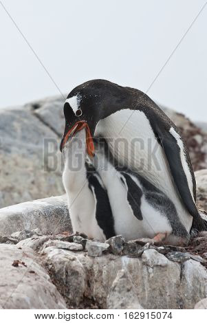 female Gentoo penguin chicks during feeding on a rock