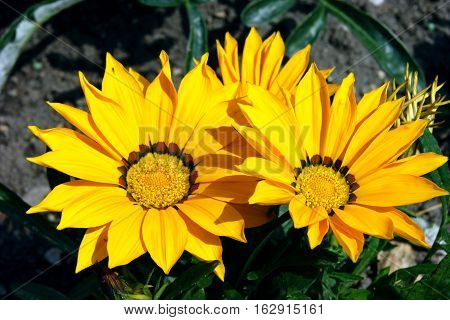 Three bright yellow gazania on the flowerbed