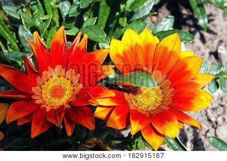 Two disclosed gazania flower, painted in bright colors
