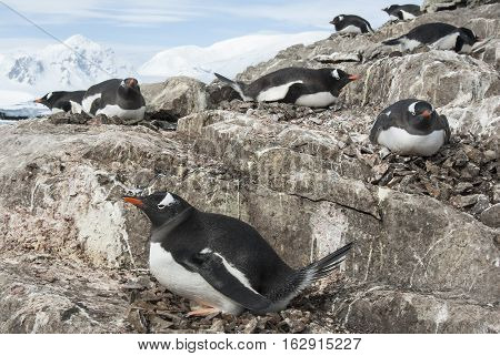 Gentoo penguin colony on a hillside on the west coast of the Antarctic Peninsula