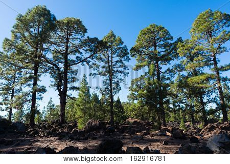 Teide National Park Tenerife - the most spectacular travel destination lava and Canary Island pine tree - Canarian pine forest