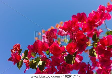 Bright pink Bougainvillea plant flowers and blue clear sky