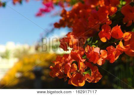 Bright orange Bougainvillea plant flowers in sunlight
