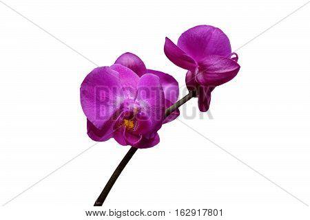 Orchid Phalaenopsis. Flowers beautiful purple orchid phalaenopsis. Isolated, white background.