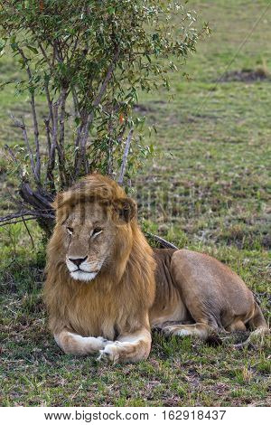 Lion. Huge king of beasts. Masai Mara, Kenya
