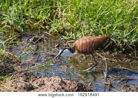 African Jacana on the swamp. Amboseli, Kenya.