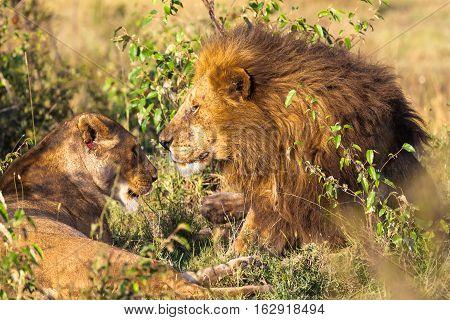Loving couple. Lions in the savannah. Masai Mara, Kenya