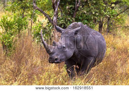 Large white rhino. Meru park, Kenya, Africa