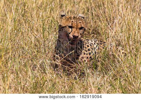 Satisfied cheetah. Hunter from Masai Mara, Kenya
