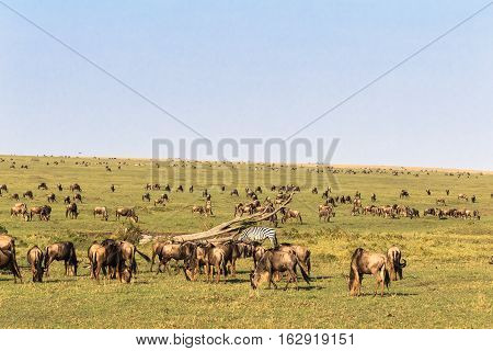 Savanna herbivores. Great migration. Kenya, Masai Mara.