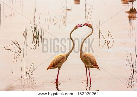 Dance of love. Dancing flamingos at Lake Nakuru. Kenya.