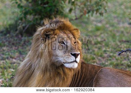 Lion. Big king of beasts. Masai Mara, Kenya