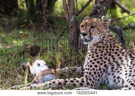 Cheetah with prey under tree. Masai Mara, Kenya