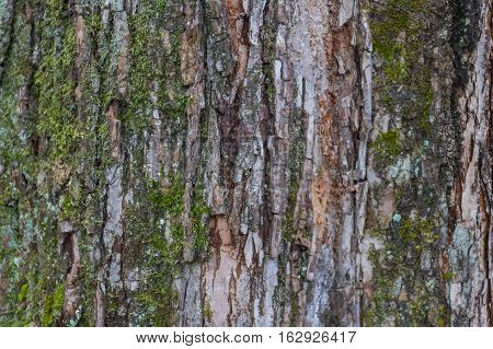Tree bark texture with lichen as background texture